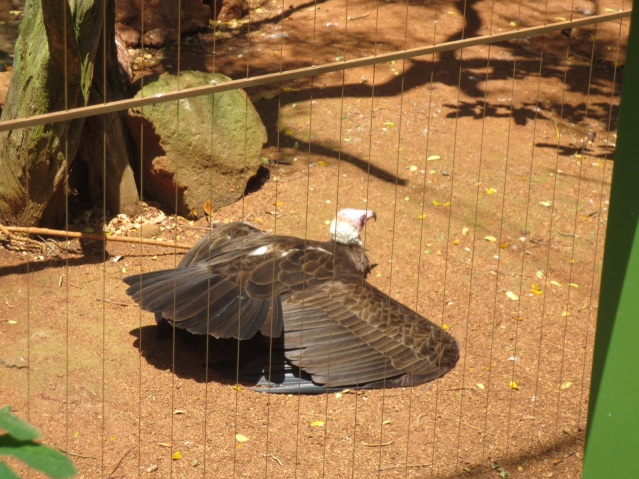 Hooded Vulture, gettin'  a tan