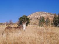 Lesotho donkey