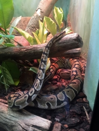 RTW_2017_dag_0106_south_africa_johannesburg_zoo (09)__ball_python