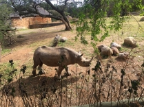 The peeing rhino