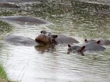 Hippopotam, Genevieve!