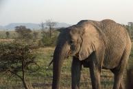 Elephant #11