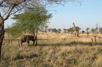 Elephant #521 and a giraffe