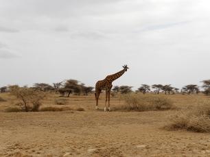Yup, that's a giraffe