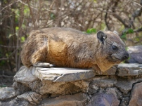Hyrax - related to the elephant... wtf.