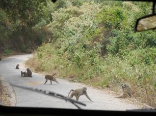 Outta the way, monkeys!