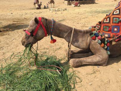 Camelrides <3