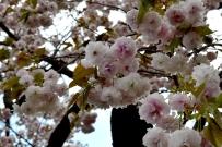 RTW_2018_dag_0406_tokyo_cherry_blossom (33)