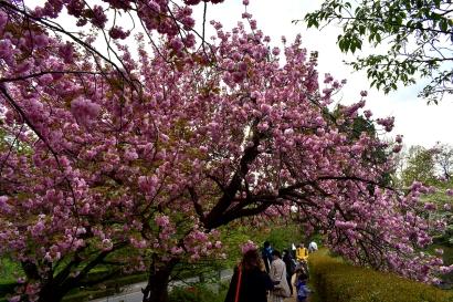 RTW_2018_dag_0406_tokyo_cherry_blossom (56)