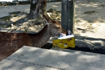 "Miyajima has ""wild"" deer"
