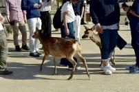 """""""Wild"""" deer"""