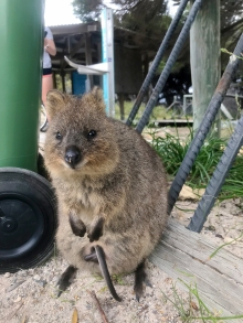 Quokka with a baby!