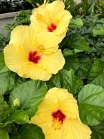 Hibiscus / Hawaiian Rose