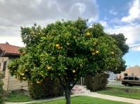"""Just another Lemon Treeeee..."""